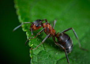 carpenter ants Pest Shield Inc