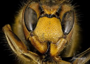 European hornet Pest Shield