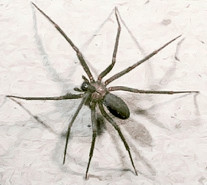 Brown Recluse Spider Pest Shield Inc