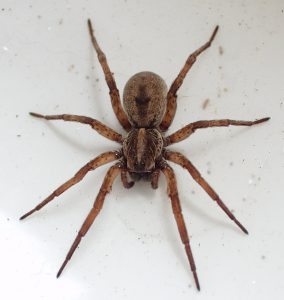 wolf spider Pest Shield