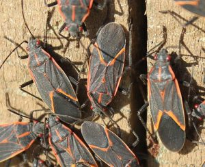 Boxelder bugs Pest Shield Inc