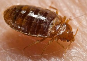 bed bugs Pest Shield Inc