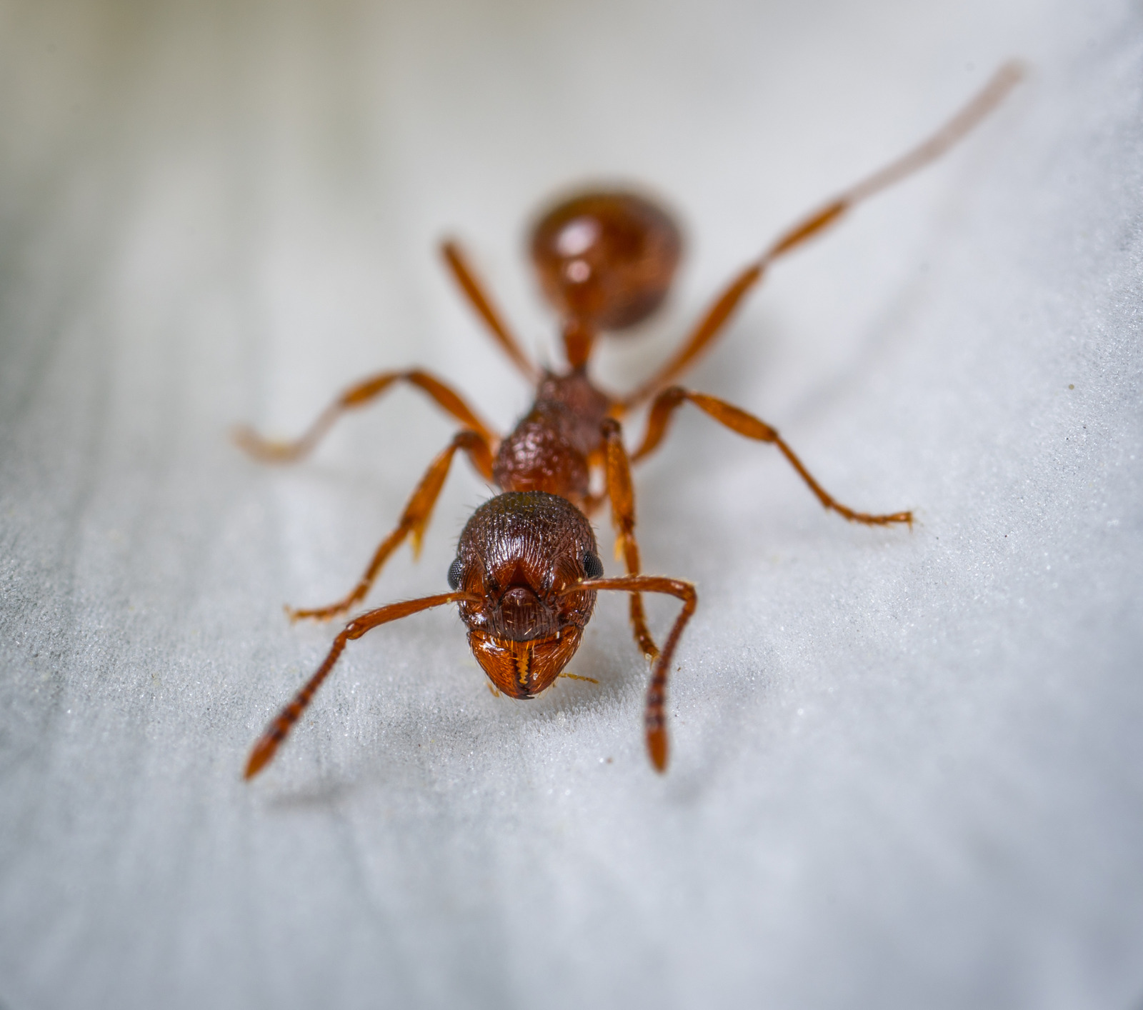 red ants Pest Shield