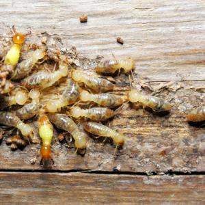termites Pest Shield