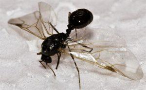 ant swarmer Pest Shield Inc